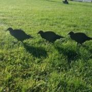 Fasan kyllinger i cortenstål